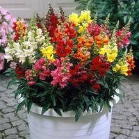 Antirrhinum Liberty F1 Mixed (garden Ready)