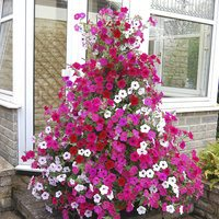 20 Petunia Tidal Wave Mixed (Garden Ready)