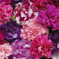 Petunia Duo Mixed (Garden Ready)