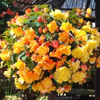 Begonia Apricot Shades Enhanced (garden Ready)