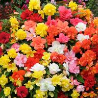 Begonia Supercascade Mixed (Garden Ready)