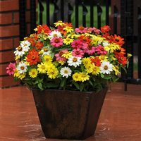 Zinnia Zahara Mixed (Garden Ready)