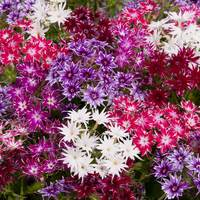 30 Phlox Popstars Mixed (Garden Ready)