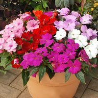 30 Impatiens New Guinea Divine (Garden Ready)