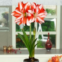 Amaryllis Exotic Peacock