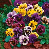 Pansy Can Can (Garden Ready)