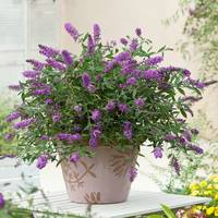 Buddleia Purple Lion