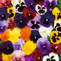 Winter/spring Pansy Select Mixed (garden Ready)