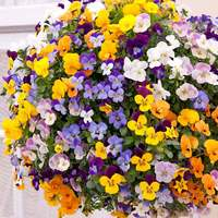 30 Viola Teardrop Mixed (Garden Ready)