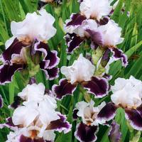 Iris germanica 'Ringo'