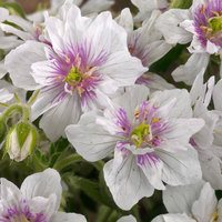 Geranium Double Jewel