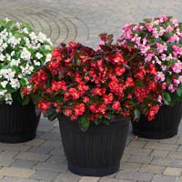 30 Begonia Mighty Flora (Garden Ready Plants)