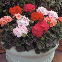 20 Geranium Bullseye Mixed (Garden Ready Plants)