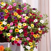 30 Calibrachoa Kabloom Mixed(Garden Ready)