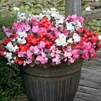 30 Begonia Semperflorens Devil Mix (Garden Ready)
