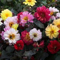 30 Dahlia Diablo Mix (Garden Ready)