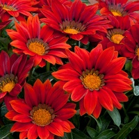 30 Gazania Hot Red (Garden Ready)