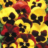 30 Pansy Autumn Blaze Mix (Garden Ready)