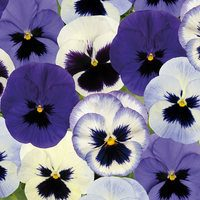 30 Pansy Ocean Breeze Mix (Garden Ready)
