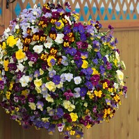 Pansy Cool Wave (Garden Ready)