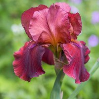 Iris germanica 'Sublime Velvet'