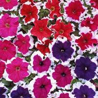33 Petunia Ice Mixed (Maxi Plugs)