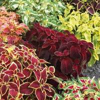 Dwarf Coleus Wizard Mixed (garden Ready)