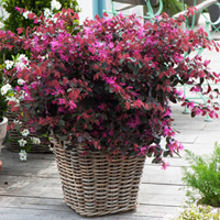 Loropetalum Fire Dance