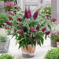 Buddleia Sugar Plum