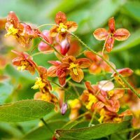 Epimedium warleyense Orange Queen