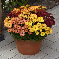 20 Osteospermum Sunset Shades (Garden Ready)