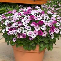 20 Osteospermum Berries and Cream(Garden Ready)