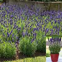 Lavender Blue Spear (Garden Ready)