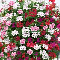 Geranium Ivy Leaf Mix (Pre-planted Basket)