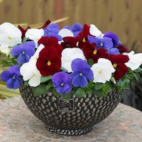 Pansy Britannia Mixed (Garden Ready)