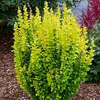 Berberis thunbergii Golden Rocket