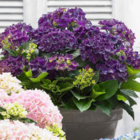 Hydrangea Deep Purple Dance