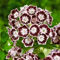 Kalmia latifolia Black Label