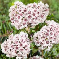 Kalmia latifolia Peppermint