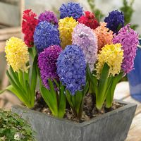 10 Bedding Sized Hyacinth Mixed 14-15cm