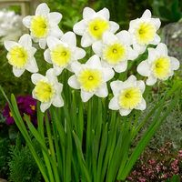 15 Daffodil Ice Follies 12/14cm