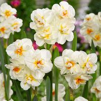 15 Daffodil Sir Winston Churchill