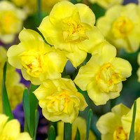 15 Daffodil Yellow Cheerfulness 12/14cm