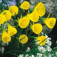 15 Narcissi Bulbocodium Conspicuous
