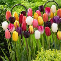 25 Single Late Tulips Mixed