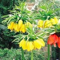 Fritillaria Lutea (Crown Imperial)