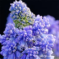 50 Muscari Blue Spike
