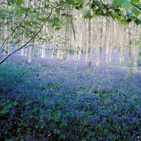 25 English Bluebells