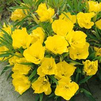 6 Evening Primrose (Oenothera M.)