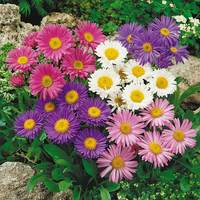 Asters Alpinus Mixed